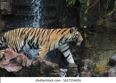 Sumatran tiger is a tiger subspecies whose natural habitat is on the island of Sumatra, and is one of six tiger subspecies that still survive today and are included in the classification of critically