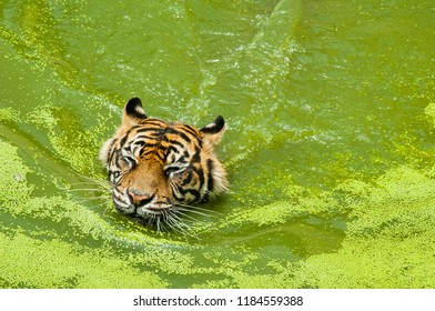 Sumatran tiger swim in the river