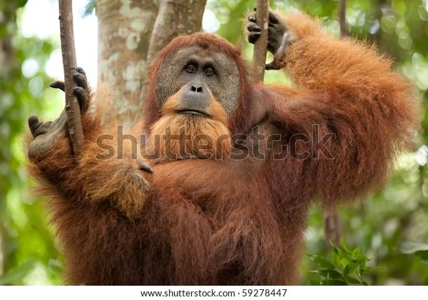 sumatran wild orangutan hanging on liana and looking at camera