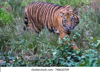 Sumatran young tiger in the jungle looking for the prey