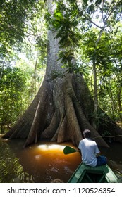 A Sumauma tree (Ceiba pentandra) with  more than 40 meters of height, flooded by the waters of  Negro river in the Amazon rainforest.