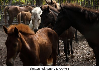 sumba island horses, maintained in the wild free, vast grasslands in Sumba where they breed