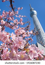 Sumida Ward, Tokyo, Japan-February 19, 2021: Cherry blossoms in full bloom and Tokyo Sky Tree.