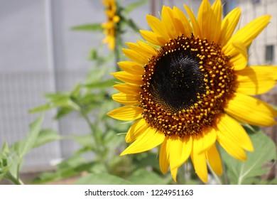 summar beautiful sunflower