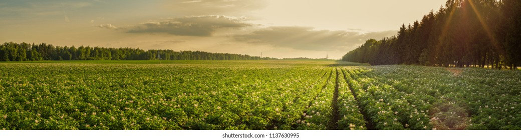 summer agricultural landscape. a large potato field is illuminated by the rays of the setting sun