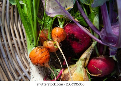 Summer allotment harvest of Carrots, peas, Khol Rabi, onions, Garlic and beetroot for a summer roast all organically homegrown in peatfree soil