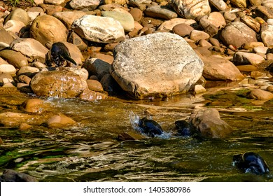Summer along the Williams River, Momma river otter leads her pups to saftey, Williams River Scenic Backway, Monongahela National Forest, West Virginia, USA