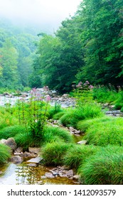 Summer along the Williams River, with a stand of Joe Pye Weed, Monongahela National Forest, West Virginia, USA