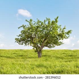 summer apple tree in green grass under blue sky