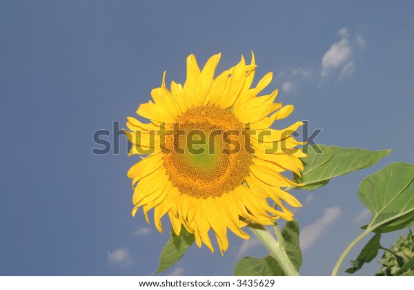 Summer is around the corner - a blooming yellow sunflower.