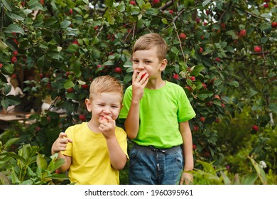 Summer and autumn activity. Two young child boys eat fresh organic juicy apples harvest in green garden outdoor. Just picked fruit