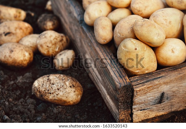 Summer or autumn raw harvested potatoes in wooden crate, soil background, selective focus, toned
