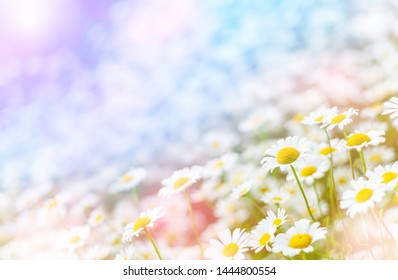 Summer background with beautiful daisies in sunlight. Field daisies on summer meadow.
