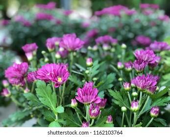 summer background with beautiful purple Chrysanthemum flowers