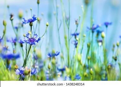 Summer background with bright blooming cornflowers in the field. Cornflowers on summer meadow.