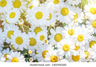 Summer background with daisy flower