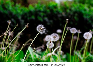 Summer background of dandelions. Green fluffy dandelions on a dark summer background. Dandelion fluff on the flowerbed in summer. Background for sites and advertising
