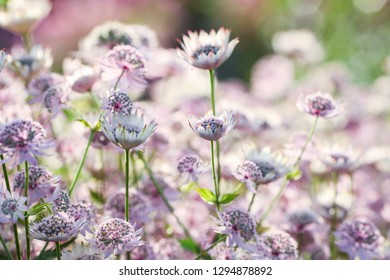 Summer background with flower Astrantia major