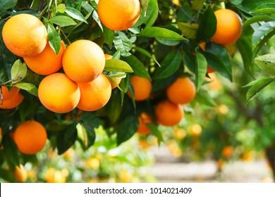 Summer  background. Lemon garden - Shutterstock ID 1014021409