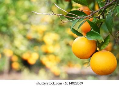Summer  background. Lemon garden