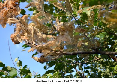 Summer background of nature. Apple tree. Malus. Spider web on a Apple tree. Caterpillars. Pests on Apple tree branches