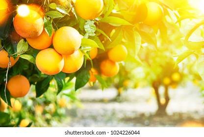 Summer  background. Orange garden