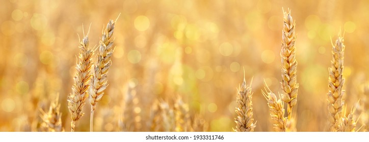 Summer background with wheat ears in the field in gold tones, panorama