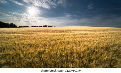 Summer barley field in sun backlight. Hordeum vulgare. Golden cornfield with ripe spikes in natural rural landscape. Blue sky, white clouds and sun beams. Idea agriculture, farming, harvesting.