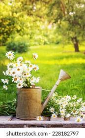 Summer beautiful garden with daisy flowers