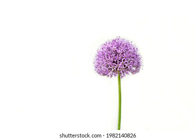 Summer Beauty Ornamental Chives Purple Flower Isolated on White