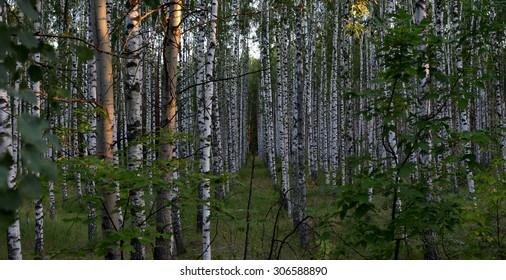 summer birch forest in the evening