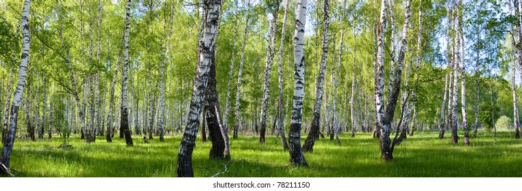 summer birch forest landscape panorama