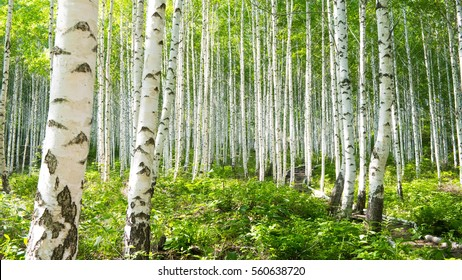 Summer birch forests