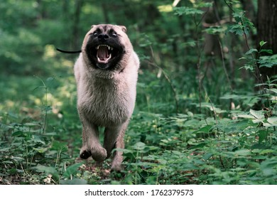 Summer blooming forest runs gallop American Akita puppy.