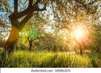 Summer blossoming apple orchard at sunrise. Bright warm sunlight in green garden in early morning. Trees in green garden. Spring background of nature. grass glows in light. Vivid sunbeams in garden