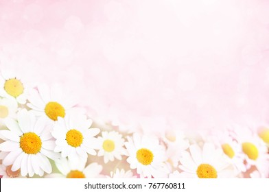 Summer blossoming daisies, chamomiles on meadow, selective focus, toned, light bokeh background, pastel and soft flower card