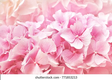 Pink flowers background images stock photos vectors shutterstock summer blossoming delicate hydrangea blooming flowers and petals festive background pastel and soft floral mightylinksfo