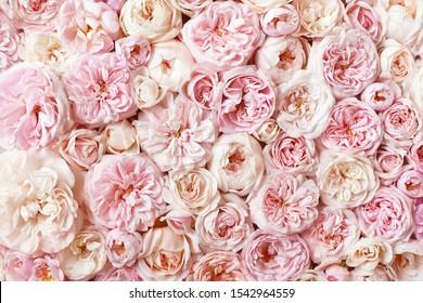 Sommerblühende, zarte Rosenblüten, festlicher Hintergrund, Blumenkarte für Pastellfarben und weiche Bouquets, selektiver Fokus, kräftig