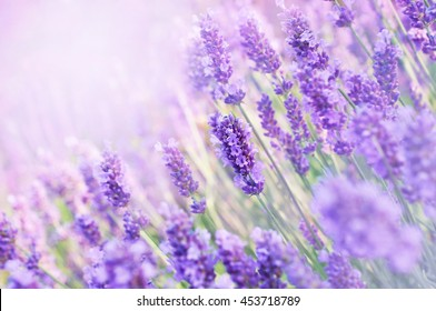 Summer blossoming lavender background, selective focus, shallow DOF