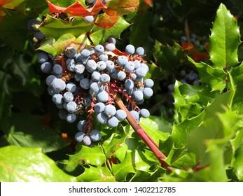 Summer blueberries season and leaves