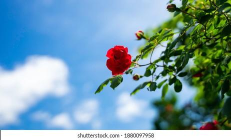 summer bluesky rose cloud redrose