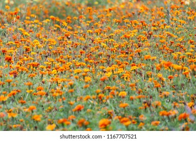 Summer blurred background with growing flowers calendula, marigold