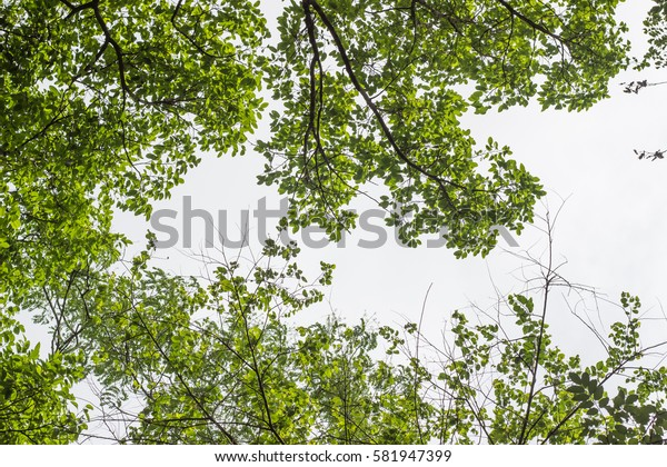 Summer branch with fresh green leaves.Green Energy.birch trees and clear sky in the forest in autumn .