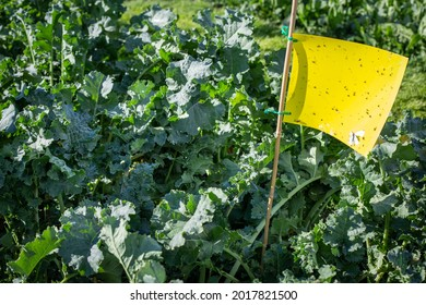 A summer brassica grown for its regrowth potential and multiple grazings, contains yellow sticky traps to enable the farmer to monitor the insect pests. Canterbury, New Zealand - Shutterstock ID 2017821500
