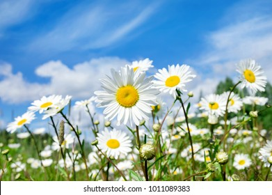Summer bright landscape with beautiful wild flowers camomiles