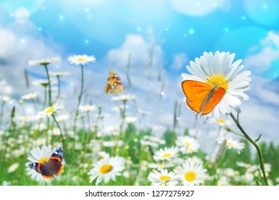 Summer bright landscape with beautiful wild flowers camomiles. Landscape with butterflies on wildflowers daisies.