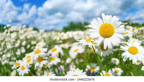 Summer bright landscape with beautiful wild flowers camomiles. Daisies in the field.
