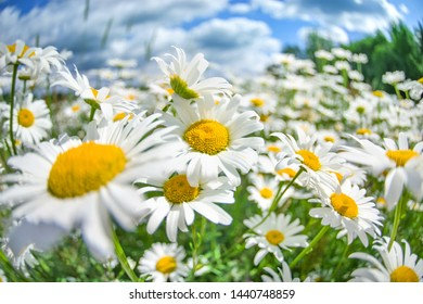 Summer bright landscape with beautiful wild flowers camomiles. Daisy wildflowers closeup