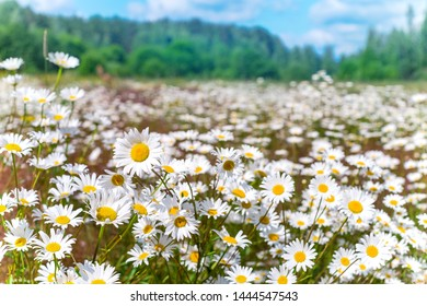 Summer bright landscape with beautiful wild flowers camomiles. Summer meadow with chamomile flowers.