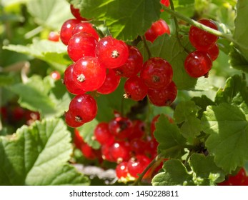 Summer. A bright Sunny day. Red currants ripen. Delicious berries on the branches.